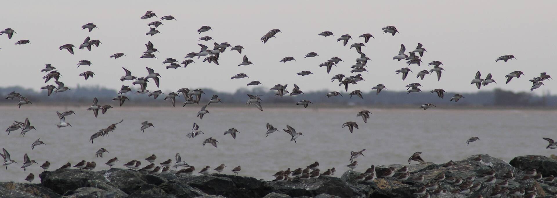Vol d'oiseaux aux Boucholeurs - ©P.Migaud / FDHPA 17