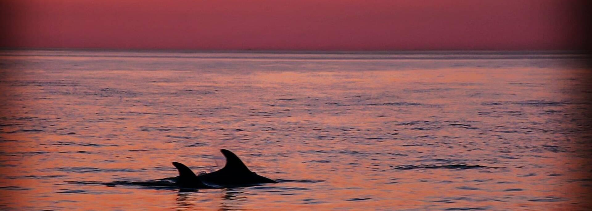Dauphins au large de l'île d'Oléron - ©Sabia's Pictures