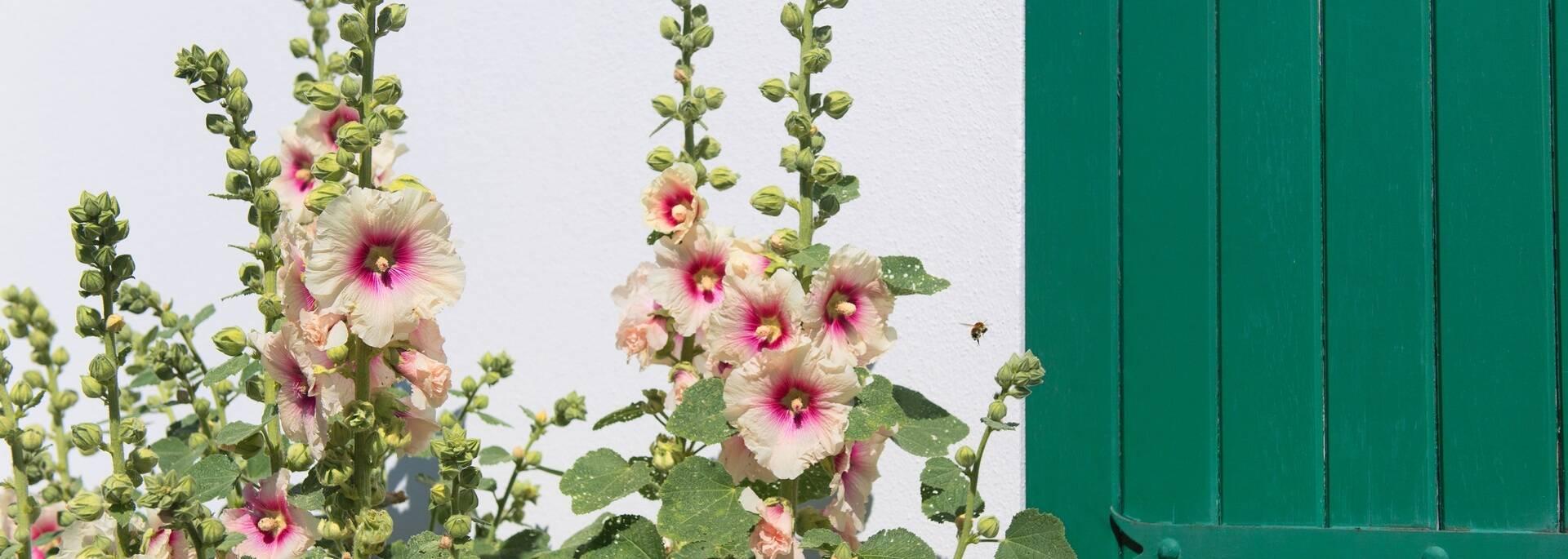 Roses trémières île de Ré ©shutterstock