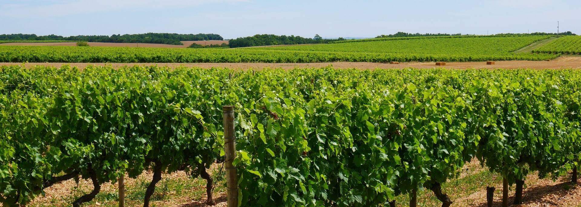Vignes dans le vignoble du cognac - ©P.Migaud / FDHPA17