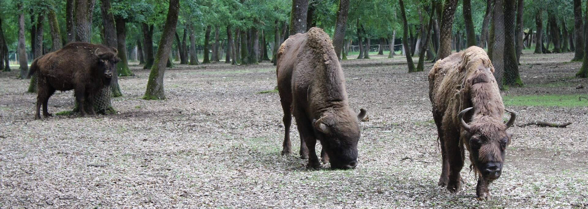 Bisons d'Europe au Zoodyssée - ©P.Migaud / FDHPA17