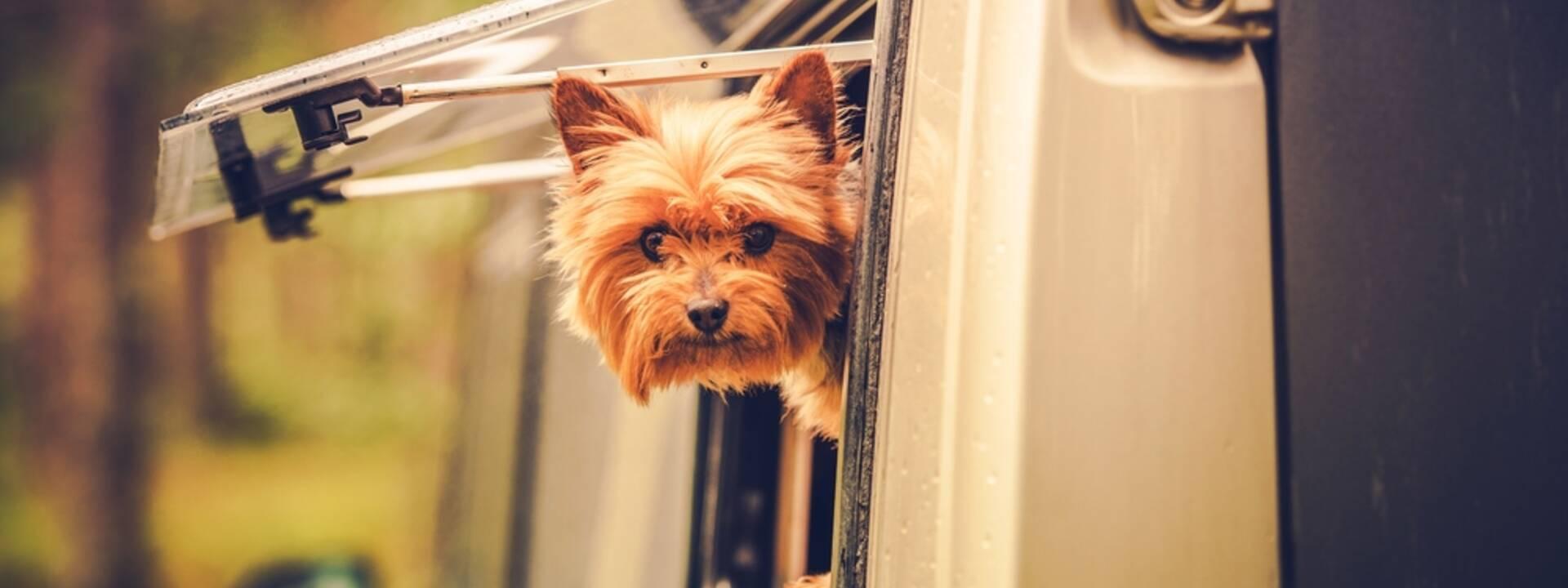 Petit chien dans un camping-car - ©Shutterstock