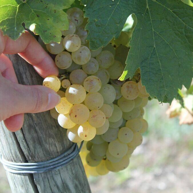 Grappes de raisin du pays du cognac - S.Nadouce / Charentes Tourisme