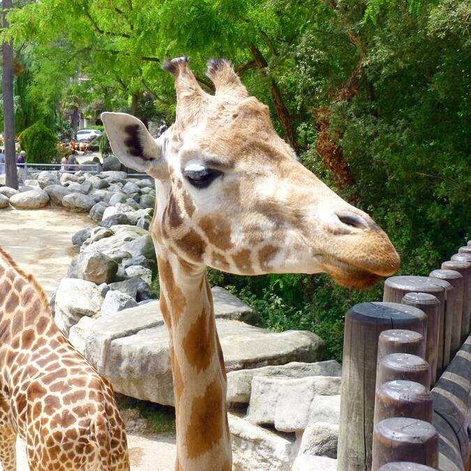 Girafe du Zoo de La Palmyre - ©FDHPA 17