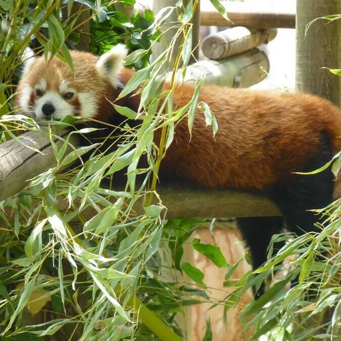 Panda Roux au Zoo de La Palmyre - ©FDHPA17