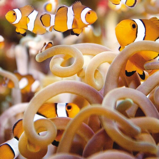 Les célèbres poissons clown - ©Aquarium La Rochelle