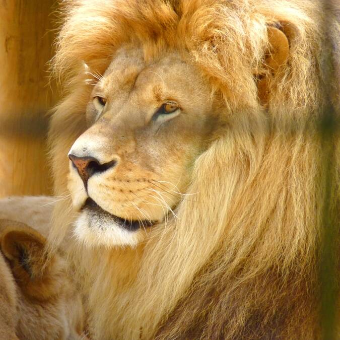 Lion du Zoo de La Palmyre - ©FDHPA 17